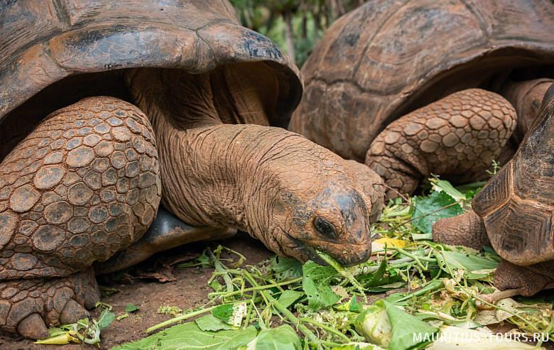 Гигантские черепахи Маврикия