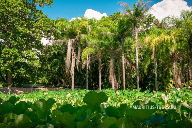 Pamplemousses botanical garden на Маврикии - отзыв об экскурсии